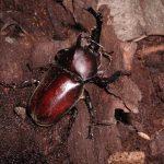 カブトムシの寿命の兆候は成虫でどれくらい?オスとメスで違うの?