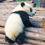 パンダのシンシンが赤ちゃん出産!名前は公募ある?一般公開はいつ?